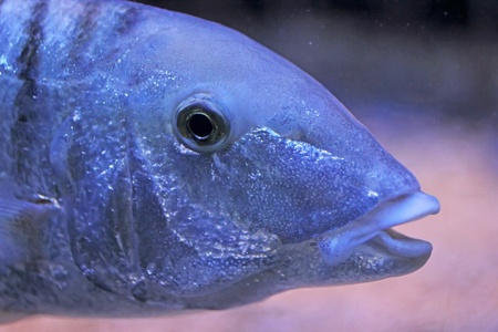 Close-up on a blue fish photo