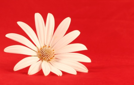 White flower in red background photo