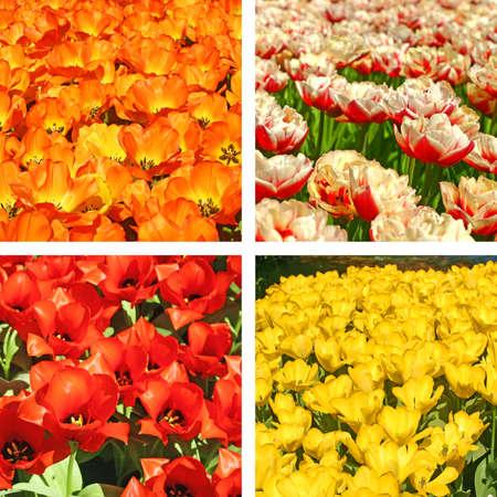 Tulip fields collage photo