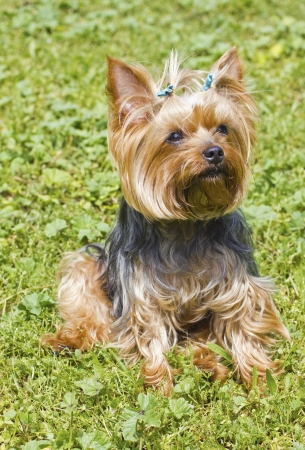 yorky: Yorkshire terrier Stock Photo