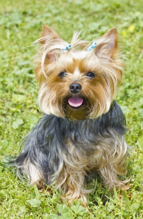 Mujer Yorkshire Terrier photo