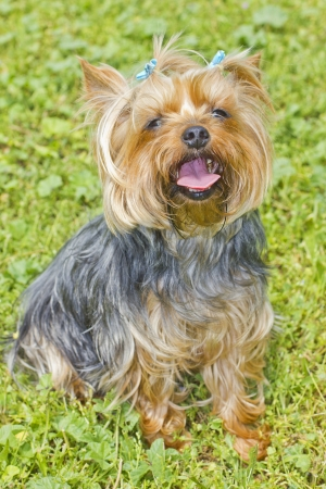 Yorkshire terrier on the grass photo