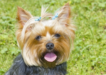 Yorkshire Terrier retrato photo