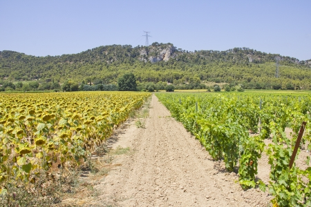 Vineyard and Sunflower fields in the south of France photo