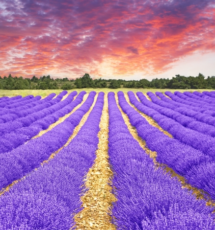 french perfume: Sunset in a lavender field Stock Photo
