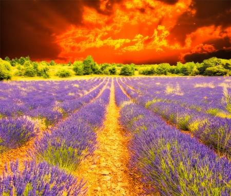 herbs of provence: Lavender field and sunset