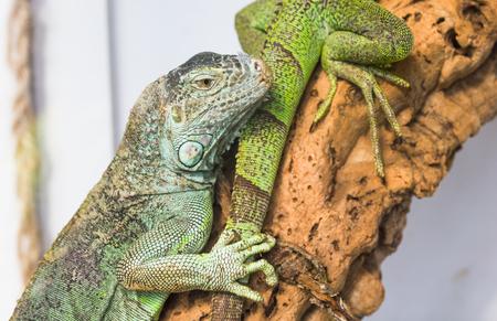 chink: Green iguana
