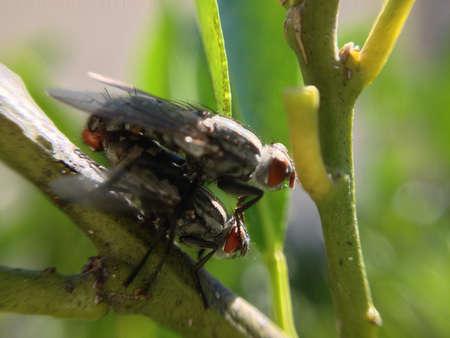 procreation: Flies mating
