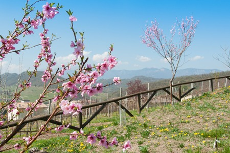 Peach tree branch in springtime, Refontolo, Treviso Italy