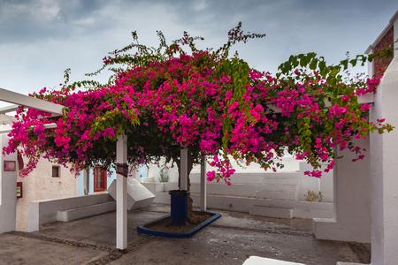 Bougainvillea in bloei in het centrum van Oia, Santorini, Griekenland