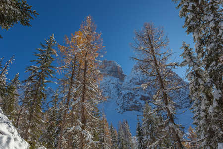 Orange larches after a snowfall in a forest with Mount Pelmo background, Dolomites, Italy. Concept: winter landscapes of the Dolomites, Christmas atmosphere