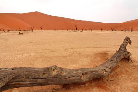 acacia tree: Dead acacia tree. Stock Photo