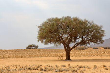 springbok: Springbok under the tree in the Etosha National Park, Namibia