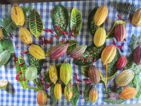 cocoa fruit: Group of cocoa fruit on a table