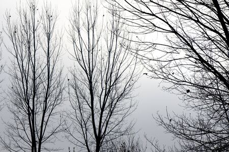 backlit: Foggy backlit trees in a winter day
