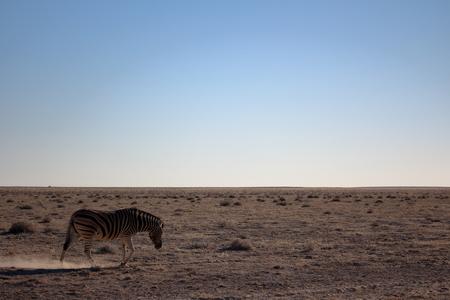 castaway: Zebra towards horizon in Etosha, Namibia Stock Photo