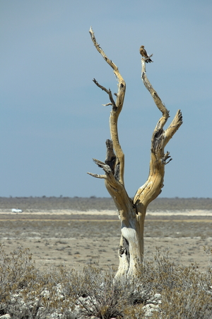 Lonely tree and vulture in Etosha, Namibia.
