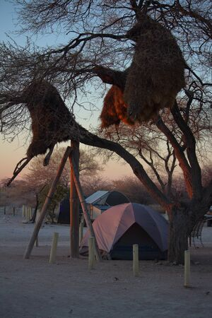 sociable: African camping with sociable weavers in Etosha, Namibia.