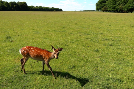 Young cute deer in Jægersborg Dyrehave (Deer Park) near Copenhagen, Denmark.