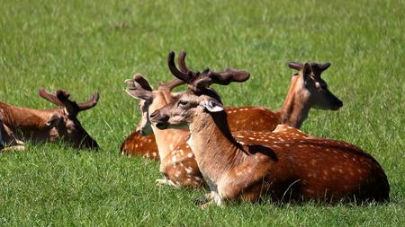 Group of deers in Jægersborg Dyrehave (Deer Park) near Copenhagen, Denmark.