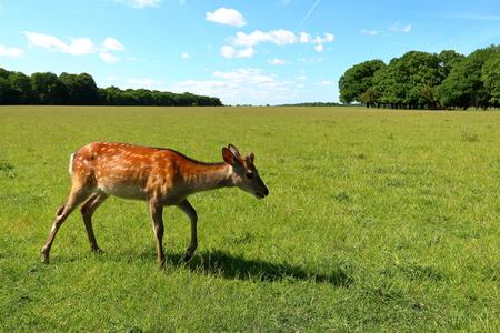 Young cute deer