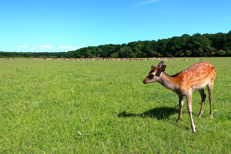 Young cute deer in J?gersborg Dyrehave (Deer Park) near Copenhagen, Denmark.