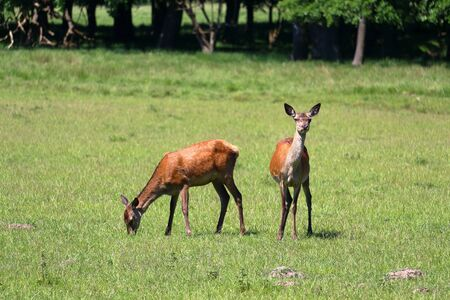 Group of deers in J?gersborg Dyrehave (Deer Park) near Copenhagen, Denmark.