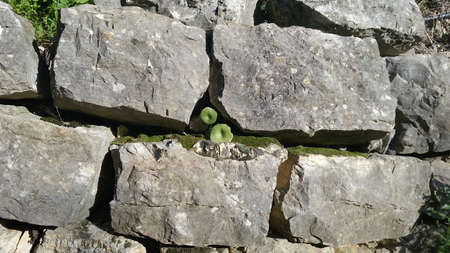 Life in an Old Stone Wall Stock Photo