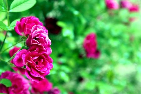 rose : high contrast edit