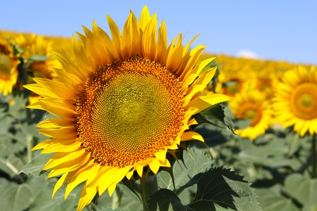 field of sunflowers with blue sky with sunflower in the foreground