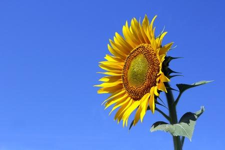 Sonnenblume mit blauem Himmel allein Standard-Bild - 9867470