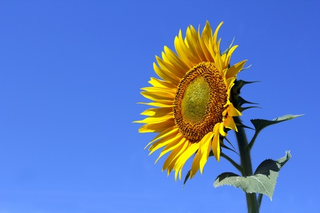 sunflower with blue sky solitary Standard-Bild