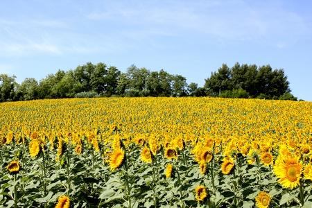 field of sunflowers with blue sky Standard-Bild