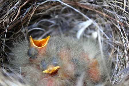 newborn birds in nest and one is stretching for food Standard-Bild