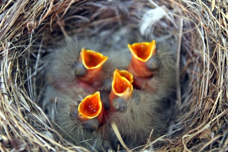 five newborn birds in nest stretching for food photo