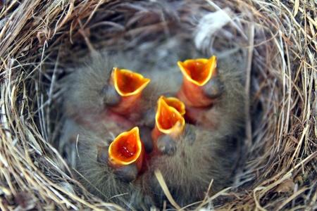 five newborn birds in nest stretching for food Standard-Bild