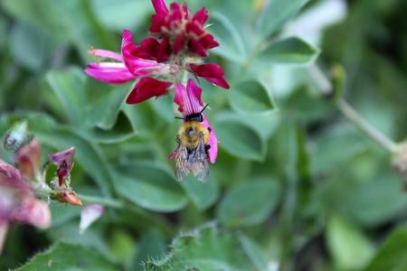 bee approaches a flower to suck nectar Standard-Bild