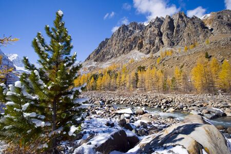 Siberian pine photo