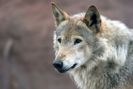 lupus: Canis lupus (Grey wolf) Stock Photo