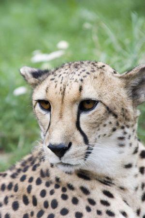 africat: Close-up acinonyx jubatus head (loking a little left)