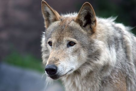 lupus: Canis lupus (Grey wolf) looking left