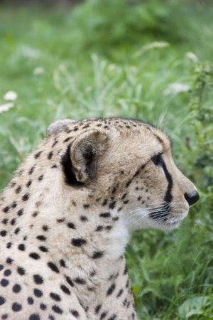 jubatus: Close-up acinonyx jubatus (cheetah) face (loking right)