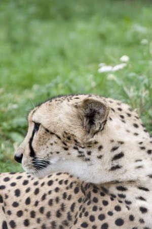 africat: Close-up acinonyx jubatus (cheetah) face (loking left)