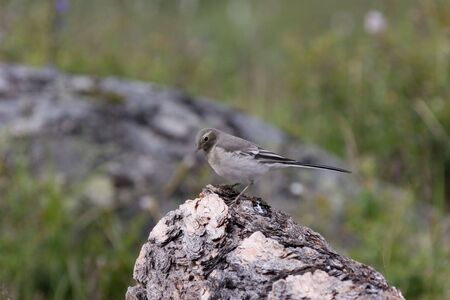 Young White Wagtail on the wood log photo