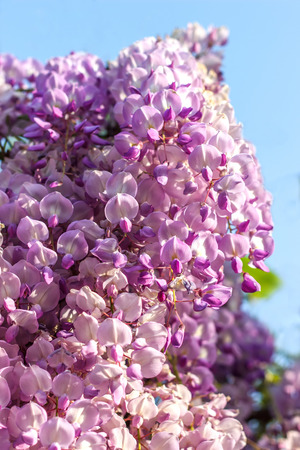 Wisteria is a genus of flowering plants in the pea family Stock Photo