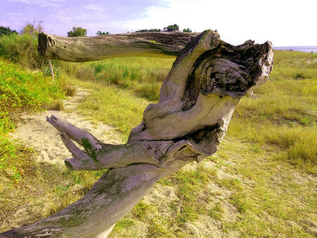 Statue tree. A dry tree that looks like a people body and dances