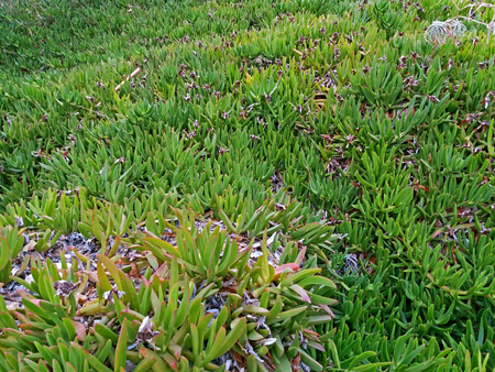 Carpobrotus edulis growing like a carpetin Greece 免版税图像