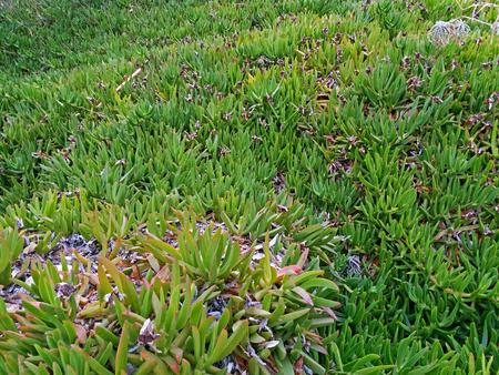 Carpobrotus edulis growing like a carpetin Greece Stock Photo