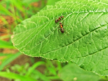 Two big ants on a green leaf Stock Photo