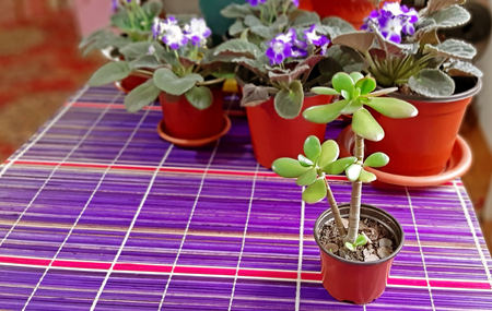 Young jade tree annd in the background, African violets. 写真素材